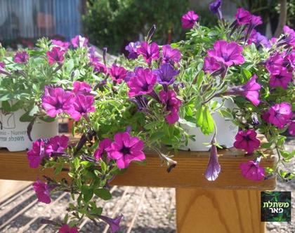 מפלית סגולה - שתיל לגינה או למרפסת שמש