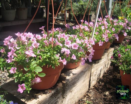 קעריות מפליות לתליה - שתיל לגינה או למרפסת שמש