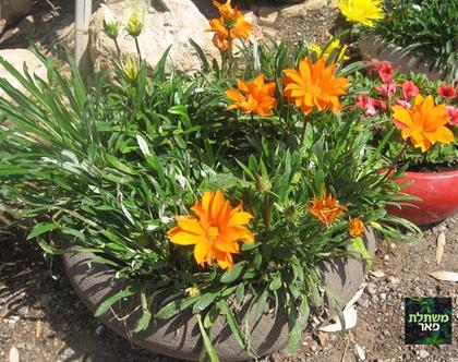 גזניה צהובה בחרס טבעי - לשמש מלאה