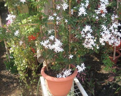 יסמין רב פרחים - צמחים לגינה