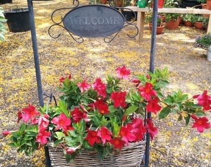 סנדווילה אדומה באדנית ברוכים הבאים לחצר, גינה ושמש מלאה