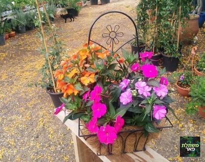 בשמת צבעוני באדנית תליה לחצר, גינה ושמש מלאה