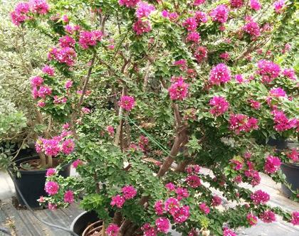 בוגונביליה ננסית צמח לשמש מלאה או חלקית