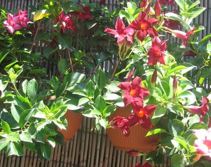 סנדווילה אדומה בקערת שתילה מתאימה לחצר, גינה ושמש מלאה