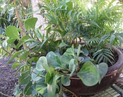 קערה עם צמחי בית