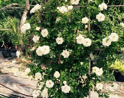 ורדים לבנים או אדומים בדלי לשתילה בחצר, בגינה או בשמש מלאה