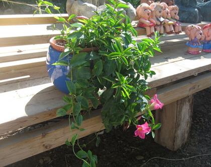 סנדווילה ורודה בגלזורה כחולה מתאימה לחצר, גינה ושמש מלאה