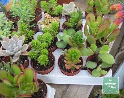 סקולנט קטן לגינה או למרפסת