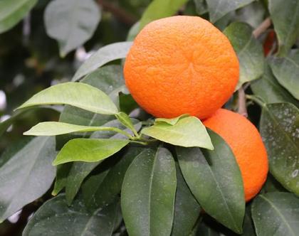 תפוז צרפתי