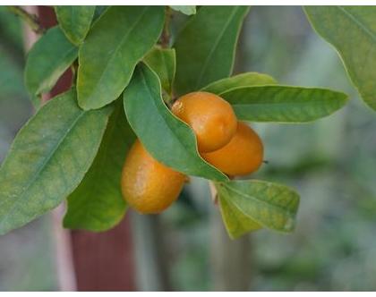 קומקווט (תפוז סיני)