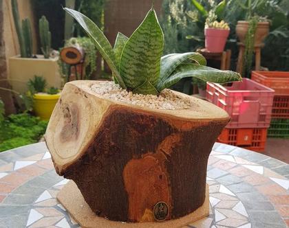 בול קקטוס-עציץ גדול-קקטוס עמיד- עץ דקורטיבי