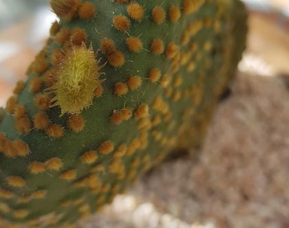 קקטוס קישקשתא מיוחד מאד עמיד-שתול בעץ-מתאים לכל התנאים