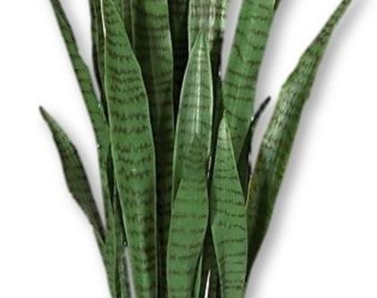 צמח מלכותי סנסיוורה מושלם