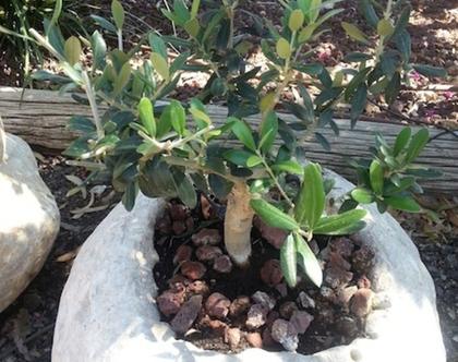 עץ זית ננסי שתול באבן לשמש מלאה