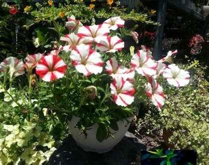 פטוניה אדומה-לבנה - שתיל לשמש מלאה או חלקית
