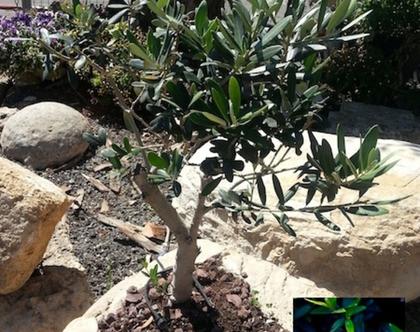 עץ זית ננסי שתול בבולבוס לשמש מלאה