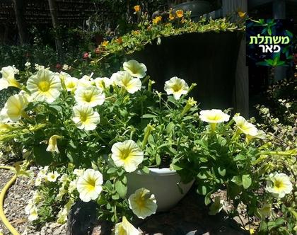פטוניה לבנה - שתיל לשמש מלאה או חלקית