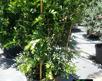מוראה מכבדית צמח לשמש מלאה או חלקית
