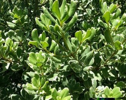 פיטוספורום מגוון צמח לשמש מלאה או חלקית