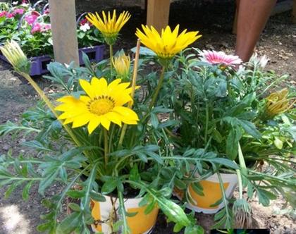 גזניה צהובה - שתיל לשמש מלאה