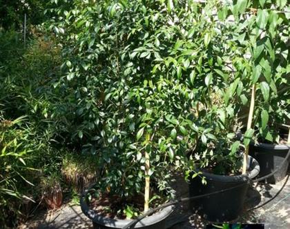 פנדוריאה יסמינית צמח לשמש עמיד וחסכוני