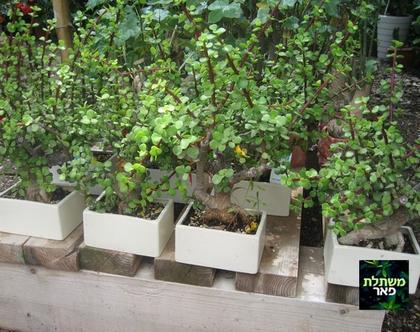 עץ השפע - צמח לבית או לצל