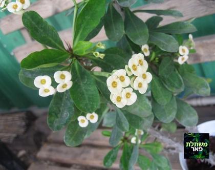 חלבלוב לבן- צמח לשמש מלאה