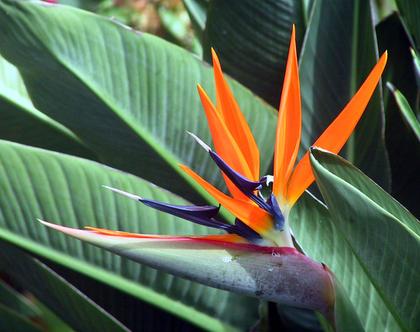 ציפור גן עדן - צמח לשמש מלאה