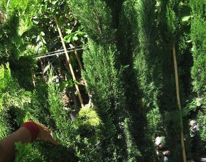 ברוש טוטם - עץ נוי לשמש מלאה