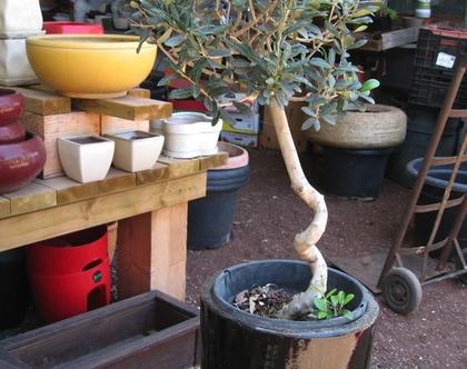 עץ זית בגלזורה שחורה - עציץ לשמש מלאה
