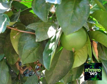 תפוז - עצי פירות הדר מתאים לשמש מלאה