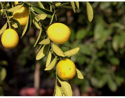 לימון - עצי פירות הדר מתאים לשמש מלאה
