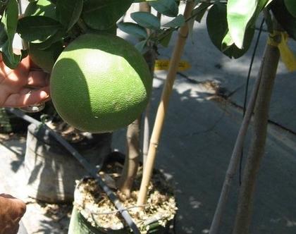פומלה - עצי פירות הדר מתאים לשמש מלאה