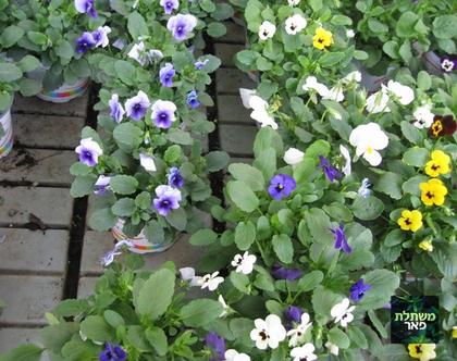 אמנון ותמר צבעוניים צמחי חורף לצל או לבית