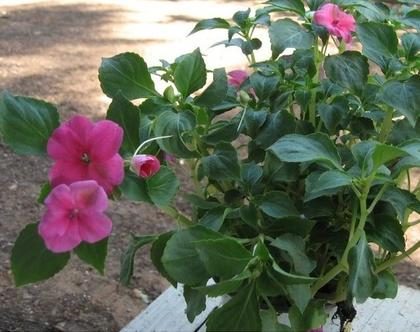 בשמת פרחי חורף שתיל לשמש מלאה