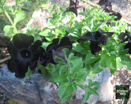 פטוניה שחורה בקערית תליה - שתיל לשמש מלאה או חלקית