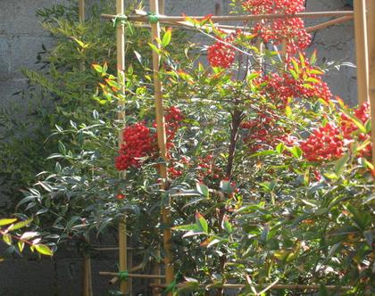 ננדינה צמח לשמש מלאה