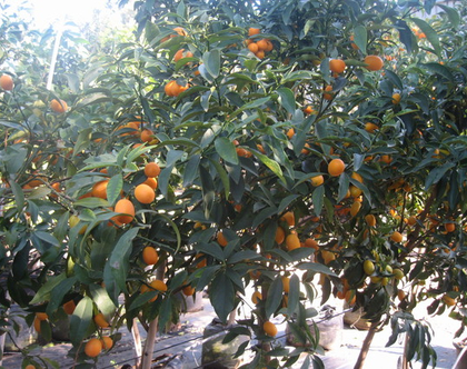 קומקוואט תפוז סיני - עצי פירות הדר מתאים לשמש מלאה