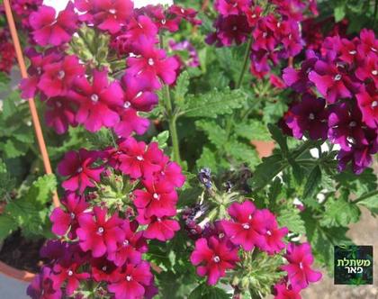 קערת ורבנה לתליה - צמחים לגינה