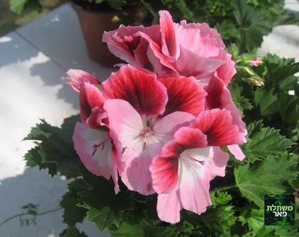 גרניום צרפתי - צמחים לגינה