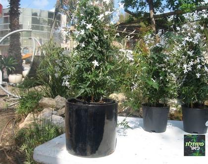 יסמין רב פרחים בגלזורה שחור צמחים לגינה