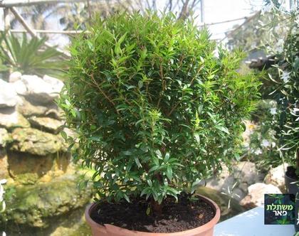 זיזיגיום - שיח רב שנתי לגינה
