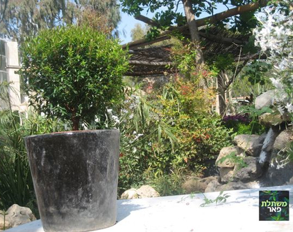 זיזיגיום בגלזורה שחורה- שיח רב שנתי לגינה