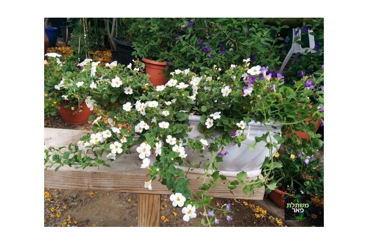 בקופה לבנה וסגולה באדנית קרמית אובלית לחצר, גינה ושמש מלאה