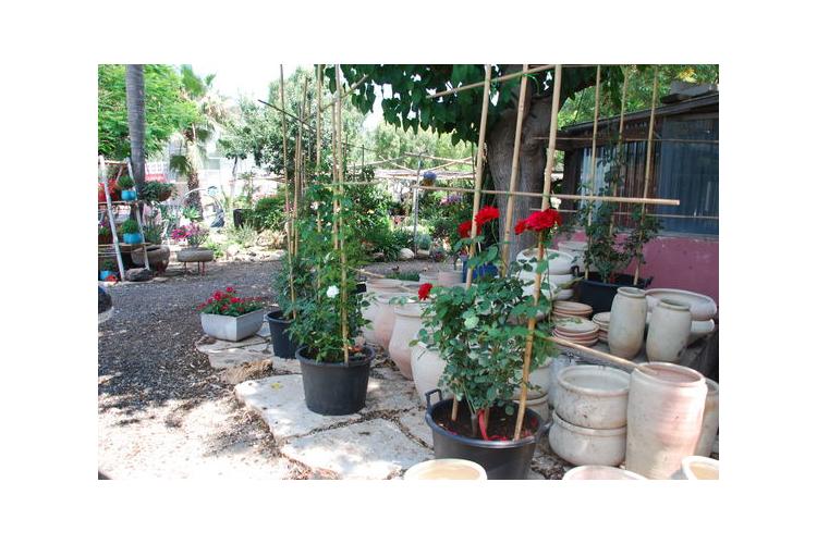 ורדים מטפסים על במבוק צמחים לשמש מלאה