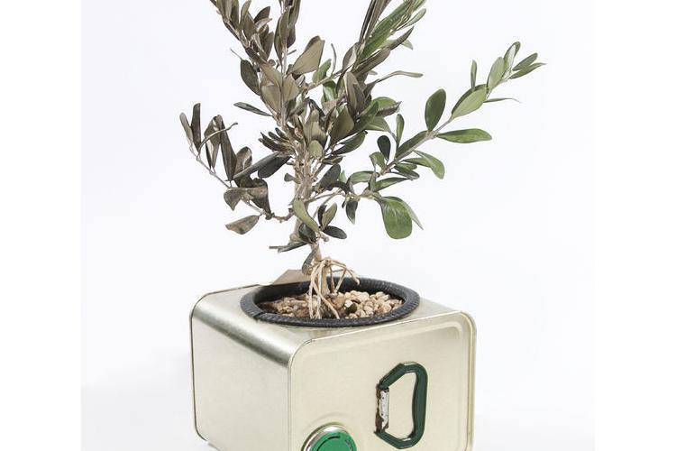 בונזית, עץ זית ננסי, עץ בונסאי, מתנה בפח שמן, עציץ ננסי, עץ זית, עציץ לבית, מתנה ירוקה, מתנה לטו בשבט