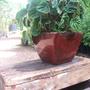 פפרומיה בגלזורה בורדו מבריק עציץ לבית
